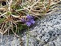 Burren Flora 27 Milkwort (3585581949).jpg
