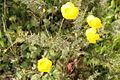 Buttercup Alcalar Portugal 22.02.16 (25105383781).jpg
