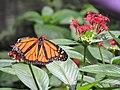 Butterfly. Parque Ecoloógico Chapultepec, Cuernavaca.jpg