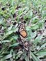Butterfly 20180912 122255.jpg
