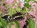 Butterfly in butterfly zoo in Niechorze.jpg