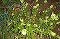 Buxus sempervirens-1.jpg