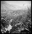 CH-NB - Persien, Elburs-Gebirge (Elburz)- Pflanzen - Annemarie Schwarzenbach - SLA-Schwarzenbach-A-5-06-222.jpg