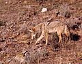COYOTE and RATTLESNAKE 2-13-06 -2 (Carrizo Plain Nat Mon) (570335171).jpg