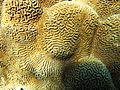 CSIRO ScienceImage 1902 Platygyra Coral.jpg