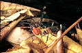 CSIRO ScienceImage 2413 Leptocoris Bugs.jpg