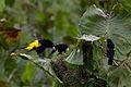 Cacicus cela -near Kapawi Ecolodge, Zamora-Chinchipe Province, Ecuador -three-8.jpg