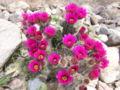 Cactus Hedgehog AZ Blooming 01.jpg