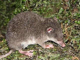 Shrew opossum family of mammals