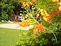 Caesalpinia pulcherrima , ดอกหางนกยูง(ไทย) - panoramio.jpg