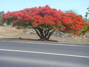 Description de l'image Caesalpinia pulcherrima Tree 2.jpg.