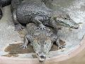 Caiman crocodilus pair (2).jpg