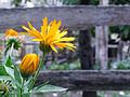 Calendula officinalis-Nandal.jpg