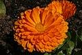 Calendula officinalis Bon Bon Orange 1zz.jpg