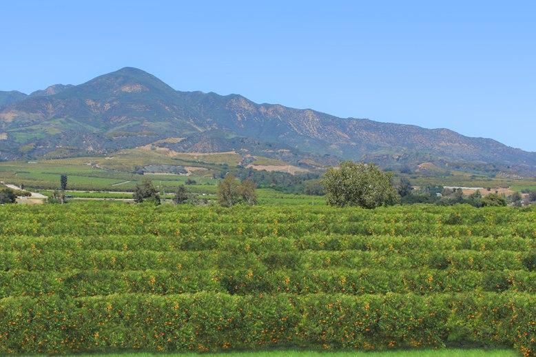 California Orange Grove2