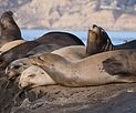 California sea lions in La Jolla (70473).jpg