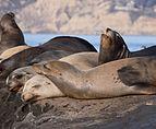 California sea lions in La Jolla (70473).jpg