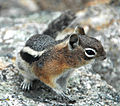 Callospermophilus lateralis (golden-mantled ground squirrel) (15541897949).jpg