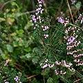 Callune-Calluna vulgaris-Tourbière de Gimel-20141011.jpg