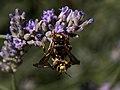 Calvisson-Anthidium florentinum-20140627.jpg
