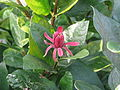 Calycanthus occidentalis (9563511359).jpg