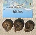 Camaena cicatricosa IMG 5431 Beijing Museum of Natural History - Natural History Museum of Guangxi.jpg