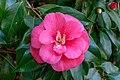 Camellia Japonica Nbg (240471883).jpeg