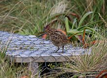 Image of Campbell snipe (Coenocorypha aucklandica perseverance) on the boardwalk of Campbell Island, February 2017.