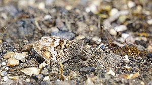 Grayling (butterfly) - Grayling butterfly engages in cryptic coloring behavior to camouflage into environment.