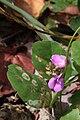 Canavalia rosea flower.JPG