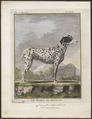 Canis lupus familiaris - 1700-1880 - Print - Iconographia Zoologica - Special Collections University of Amsterdam - UBA01 IZ22300029.tif