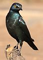 Cape Glossy Starling, Lamprotornis nitens, at Walter Sisulu National Botanical Garden, Gauteng, South Africa (29391097352).jpg