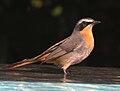 Cape Robin-chat RWD.jpg