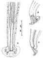 Capillaria alcoveri male Figure 10.png