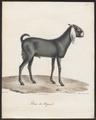 Capra aegagrus - 1700-1880 - Print - Iconographia Zoologica - Special Collections University of Amsterdam - UBA01 IZ21300265.tif