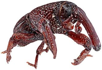 Wheat weevil - Image: Capturing Natural Colour 3D Models of Insects for Species Discovery and Diagnostics pone.0094346.g 001