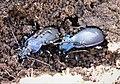 Carabus violaceus. Violet Ground Beetles under bark - Flickr - gailhampshire.jpg