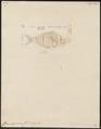 Caranx speciosus - 1700-1880 - Print - Iconographia Zoologica - Special Collections University of Amsterdam - UBA01 IZ13500379.tif