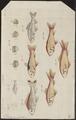 Carassius auratus - 1762 - Print - Iconographia Zoologica - Special Collections University of Amsterdam - UBA01 IZ15000060.tif