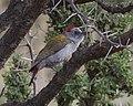 Cardinal Woodpecker (Dendropicos fuscescens) (21152332345).jpg