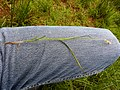 Carex disticha plant (02).jpg