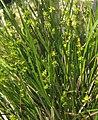 Carex echinata plant (02).jpg