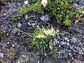 Carex firma Eigergletscher.JPG