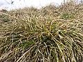 Carex humilis sl6.jpg