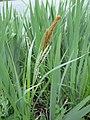Carex pendula inflorescens (53).jpg