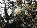 Careya Arborea003.jpg