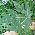 Carica papaya - Papaya - var-tropical dwarf papaya - desc-leaf.jpg
