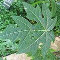 Carica papaya - Papaya - var-tropical dwarf papaya - desc-leaf.jpg