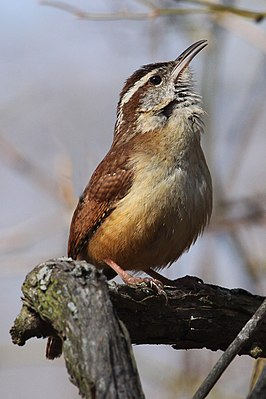 Carolina Wren - Thryothorus ludovicianus, Occoquan Bay National Wildlife Refuge, Woodbridge, Virginia.jpg