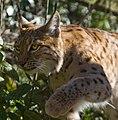 Carpathian Lynx 7 (13366120813).jpg